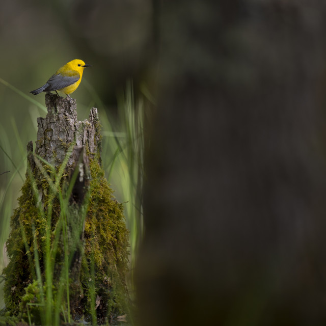 """""""Prothonotary in the Swamp"""" stock image"""