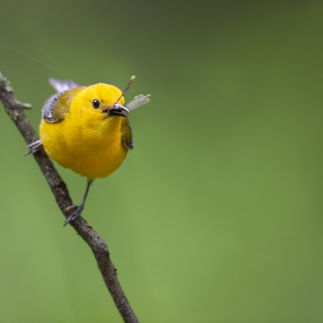 """""""Prothonotary Warbler with Insect"""" stock image"""