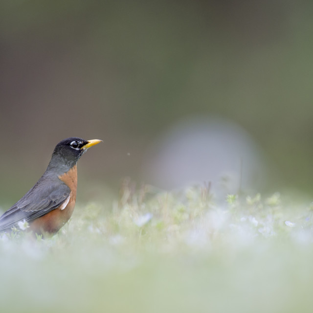 """""""Robin on the Ground"""" stock image"""