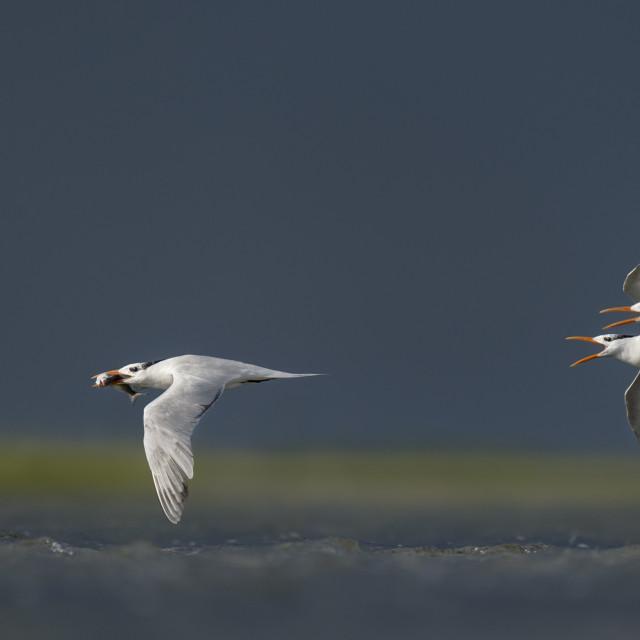 """Royal Terns Chasing with Fish"" stock image"