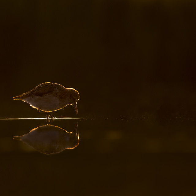 """Sandpiper Glow at Sunrise"" stock image"
