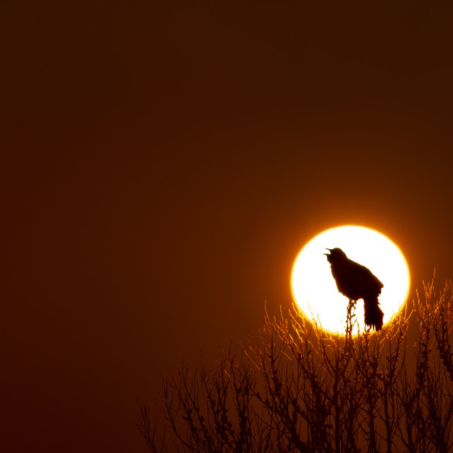 """""""Red-winged Dawn Song"""" stock image"""