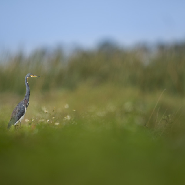 """Scenic Tricolored Heron"" stock image"
