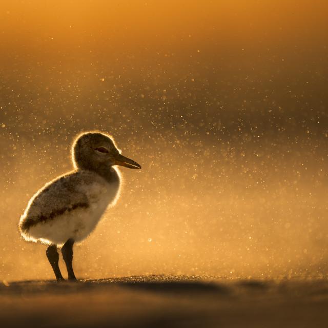 """Sand Storm Oystercatcher Chick"" stock image"