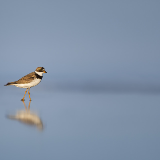"""""""Semipalmated Plover on Blue"""" stock image"""