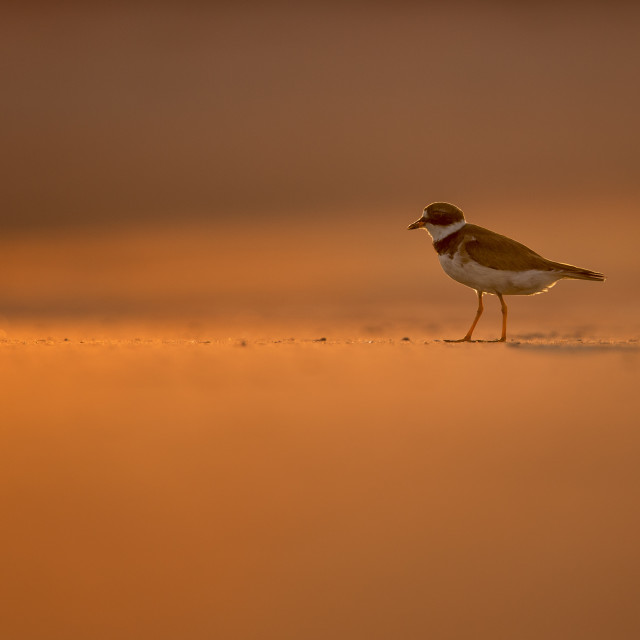 """""""Semipalmated Plover at Sunset"""" stock image"""