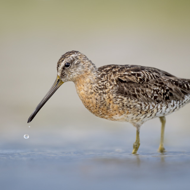 """""""Short-billed Dowitcher with a Water Drop"""" stock image"""