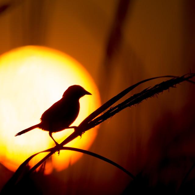 """Seaside Sparrow Silhouette"" stock image"