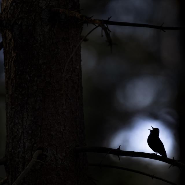 """Singing Ovenbird Silhouette"" stock image"