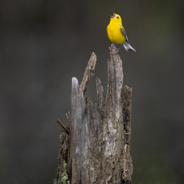 """Singing Prothonotary Warbler"" stock image"