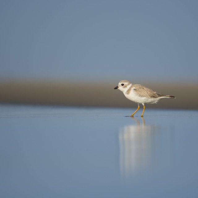 """""""Smooth Piping Plover"""" stock image"""