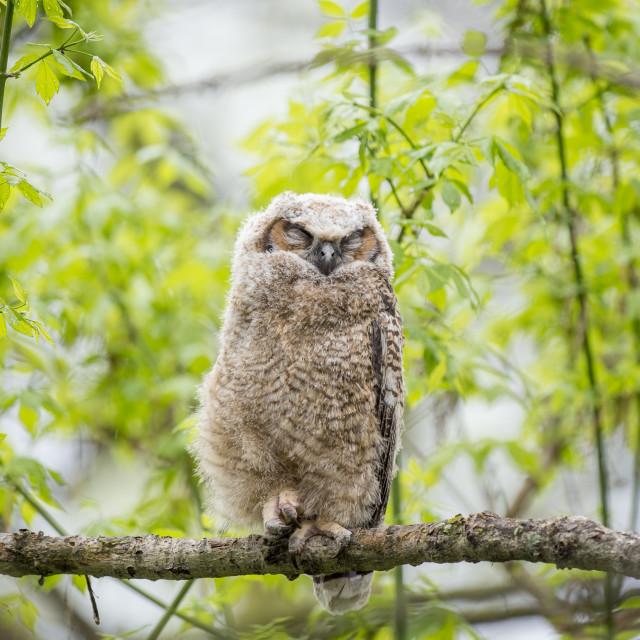 """""""Sleepy Owlet"""" stock image"""