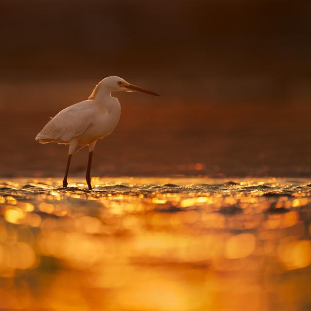 """Snowy Egret at Sunrise"" stock image"