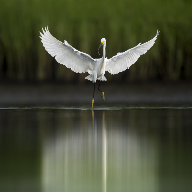 """Snowy Egret Dance"" stock image"