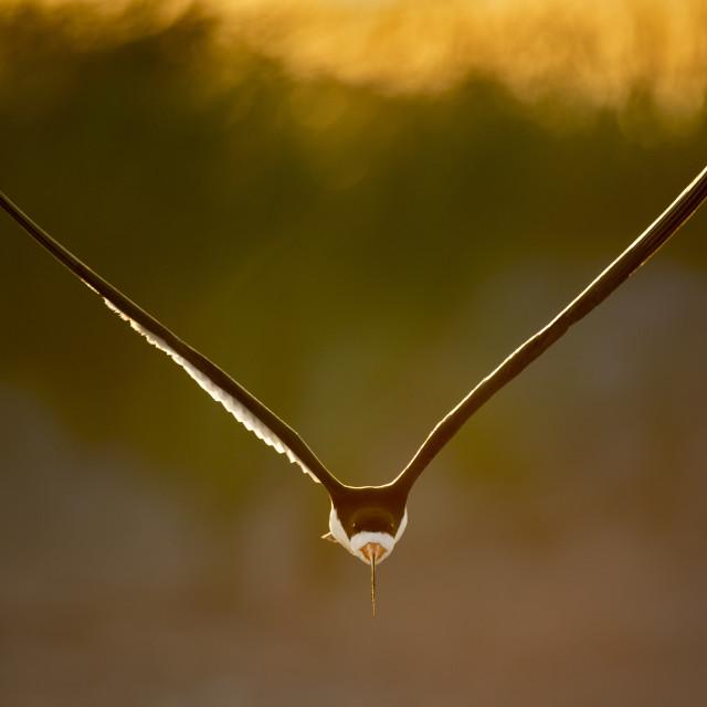 """""""Slender Flying Black Skimmer"""" stock image"""