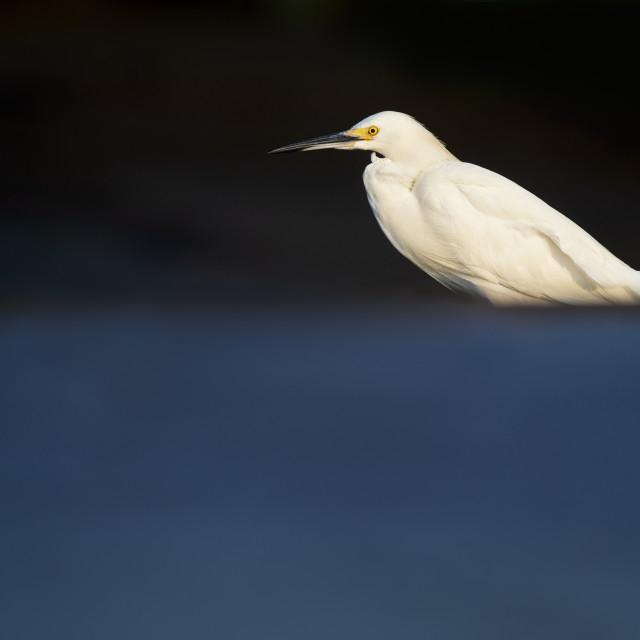 """Snowy Egret in Morning Sun"" stock image"