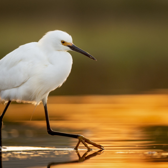 """""""Snowy Egret Stepping"""" stock image"""