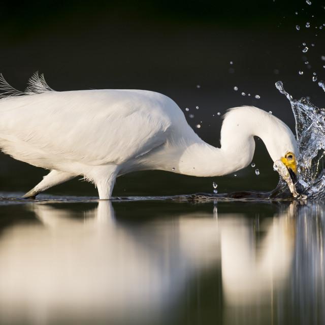"""Snowy Egret Strike"" stock image"