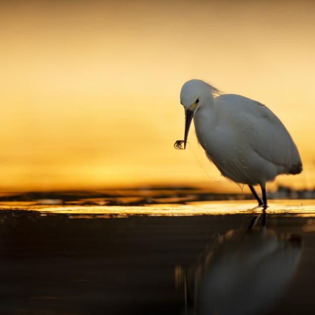 """Snowy Egret with Shrimp"" stock image"