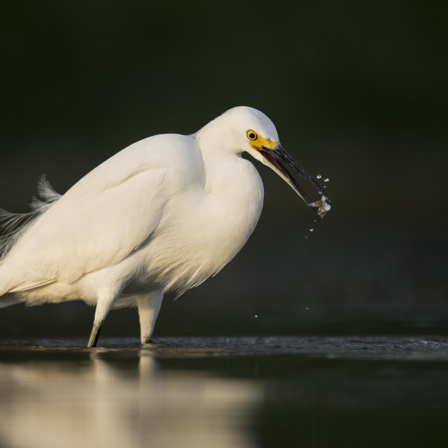 """""""Snowy Egret with Minnow"""" stock image"""