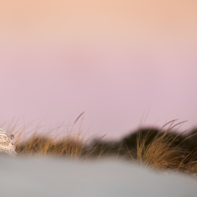 """""""Snowy Owl at Dawn"""" stock image"""