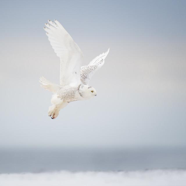 """""""Snowy Owl Takeoff"""" stock image"""