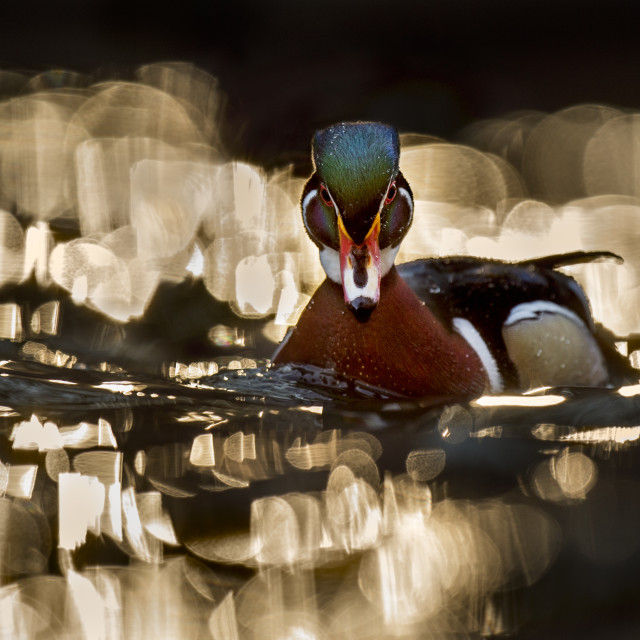 """""""Sparkling Wood Duck"""" stock image"""