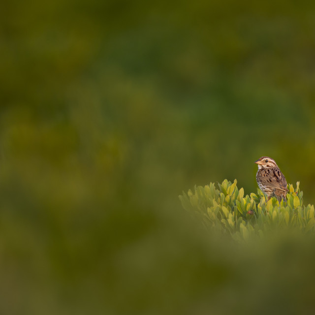 """""""Song Sparrow in the Green Brush"""" stock image"""