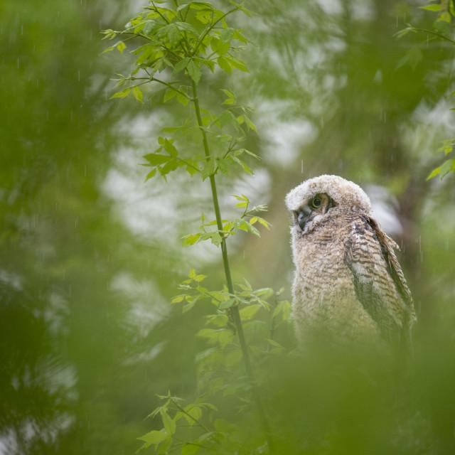 """Soaking Wet Owlet"" stock image"