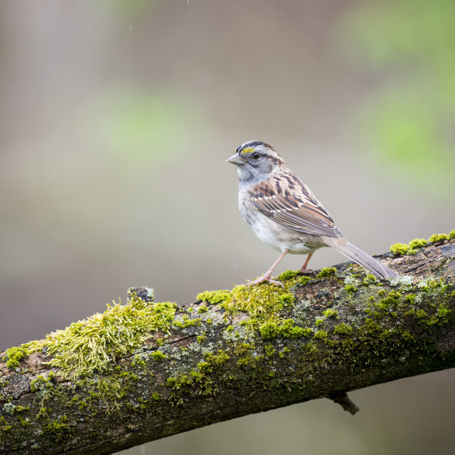 """""""Sparrow on a Mossy Log"""" stock image"""