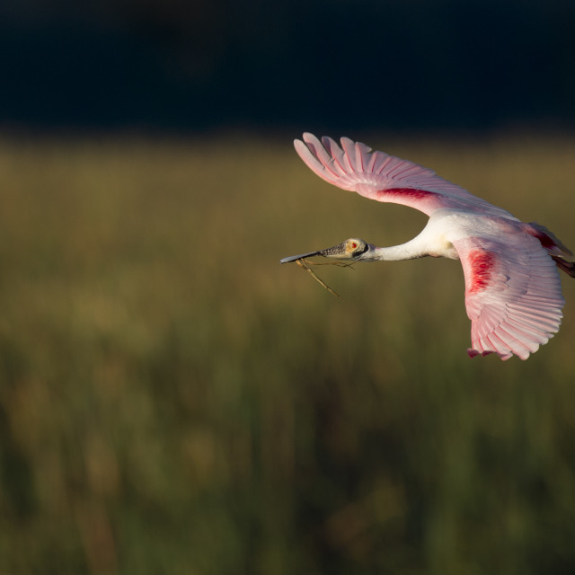 """""""Spoonbill with Nesting Material"""" stock image"""