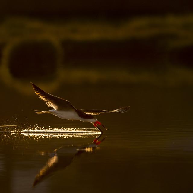 """""""Sunrise Black Skimmer"""" stock image"""