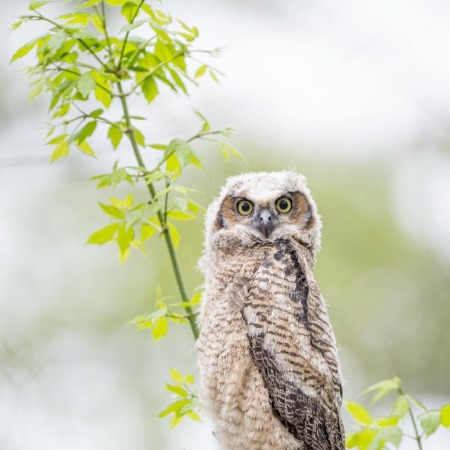 """Staring Owlet"" stock image"