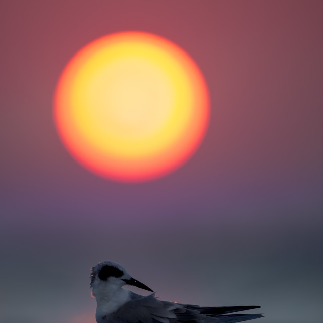 """Sunset Preening Tern"" stock image"
