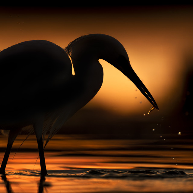 """""""Sunrise with a Snowy Egret"""" stock image"""
