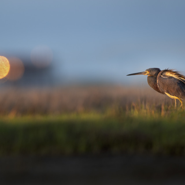 """Sunrise Tricolored Heron in Marsh"" stock image"
