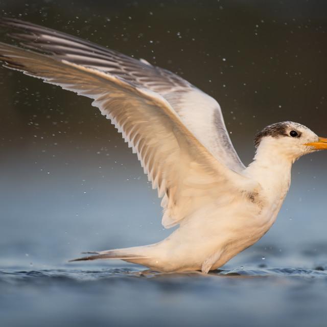 """Sunset Royal Tern Bath"" stock image"