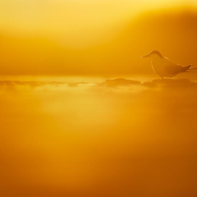 """""""Tern in the Sun"""" stock image"""