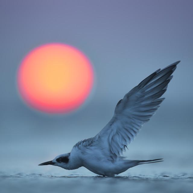 """Tern Stretching at Sunset"" stock image"