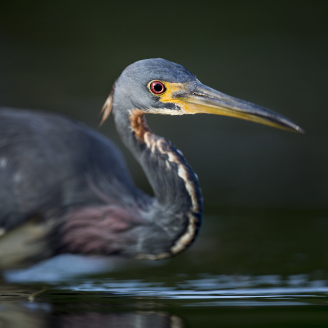 """""""Tricolored Heron Red Eye"""" stock image"""