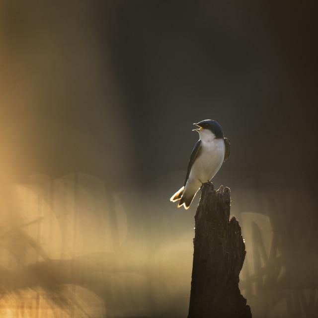 """Tree Swallow at Sunrise"" stock image"
