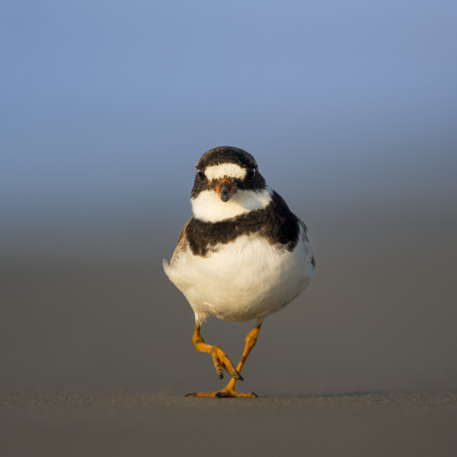 """""""Walking Semipalmated Plover"""" stock image"""
