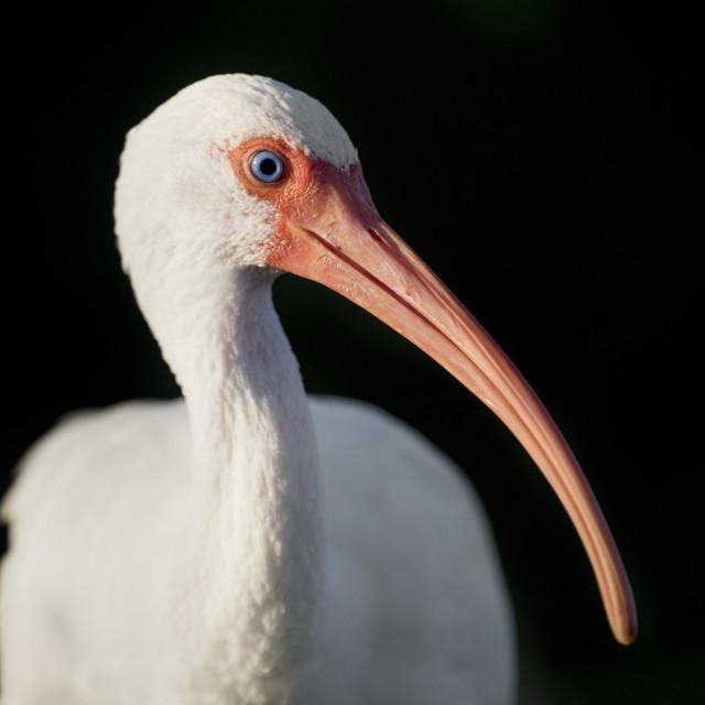 """White Ibis Portrait"" stock image"