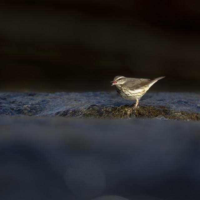 """Waterthrush in a Sunny Creek"" stock image"