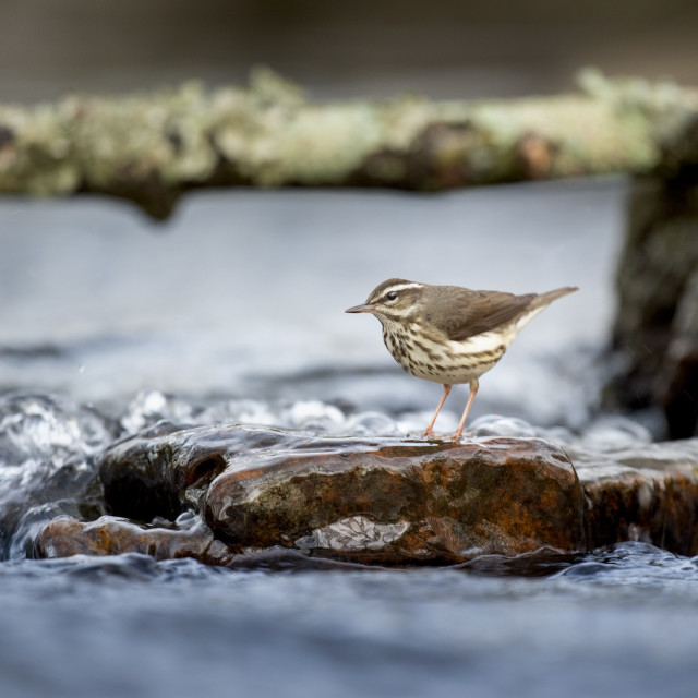 """Warbler in the Water"" stock image"