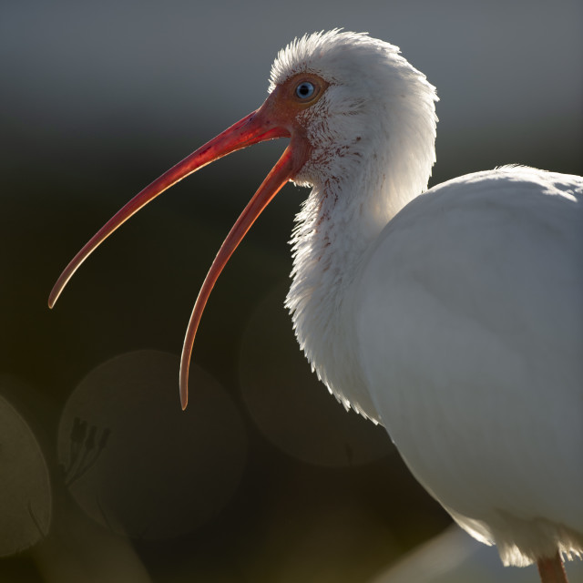 """White Ibis Beak"" stock image"