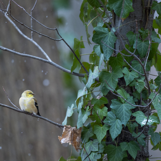 """""""Winter American Goldfinch"""" stock image"""