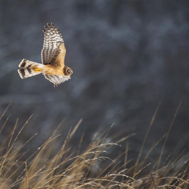 """Winter Northern Harrier"" stock image"