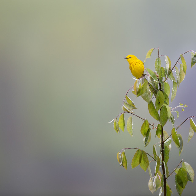 """""""Yellow Warbler Tree Topper"""" stock image"""