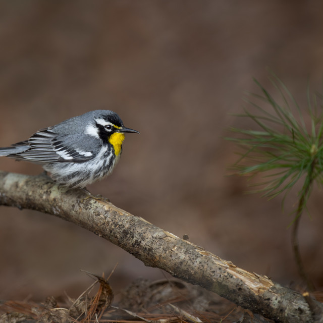 """""""Yellow-throated Warbler on the Ground"""" stock image"""
